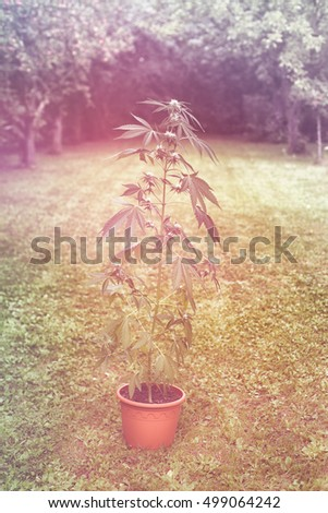 Cannabis female plant in flowerpot outdoors in the garden, indica dominant hybrid in flowering stage.