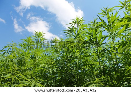 Cannabis field  - stock photo