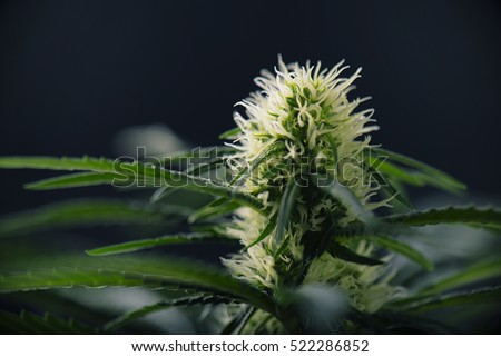 Cannabis flower - Blooming Marijuana plant with early white flowers isolated on black background