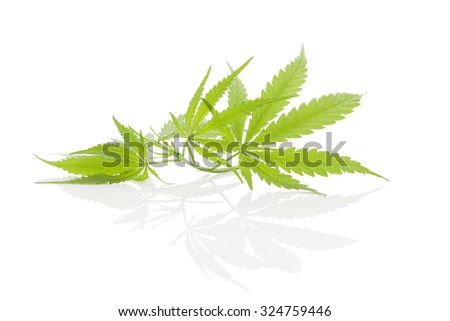 Cannabis foliage isolated on white background. Alternative medicine.  - stock photo