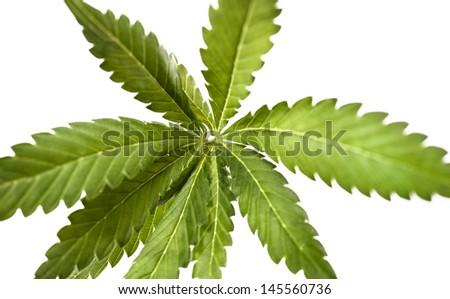 Cannabis is a genus of flowering plants. - stock photo