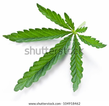 Cannabis leaf isolated on a white background - stock photo