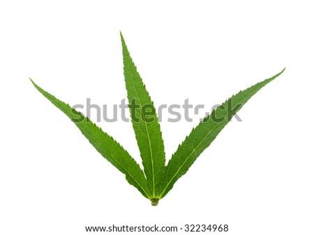cannabis leaf on white background - stock photo