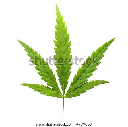 cannabis leaf on white background - stock photo