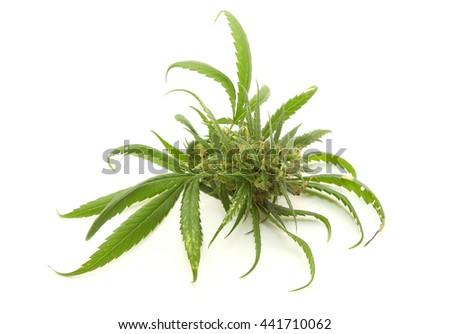 Cannabis leaf or marijuana isolated on white background - stock photo