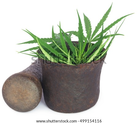 Cannabis leaves or marijuana leaves in a vintage mortar over white background