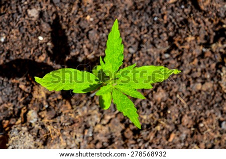 Cannabis Marijuana Green Young Plant over the Floor - stock photo