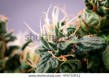 cannabis marijuana medicinal bud, close-up