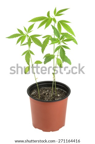 Cannabis, marijuana, plants on a white background - stock photo