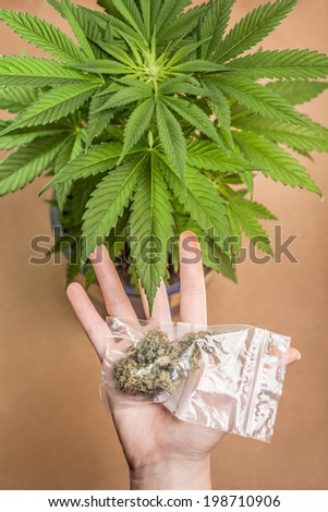 Cannabis plant and hand with bag of dried marijuana buds. - stock photo