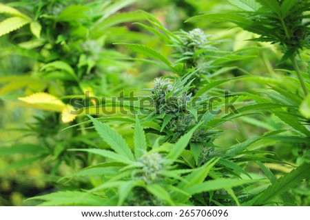 Cannabis plant at flowering stage