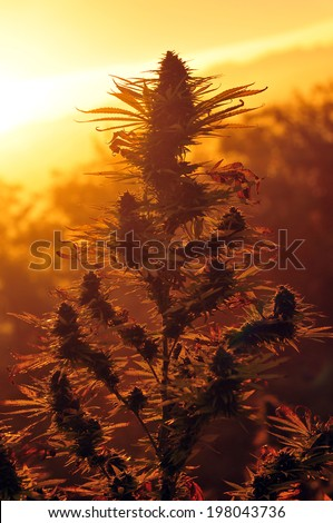 Cannabis plant at sunrise - stock photo