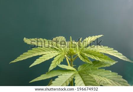 cannabis plant dark green background  - stock photo