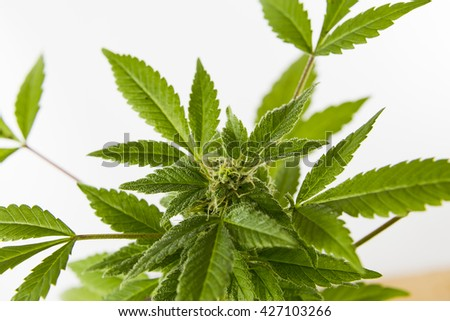 Cannabis Plant Growing shown on a bright background - stock photo