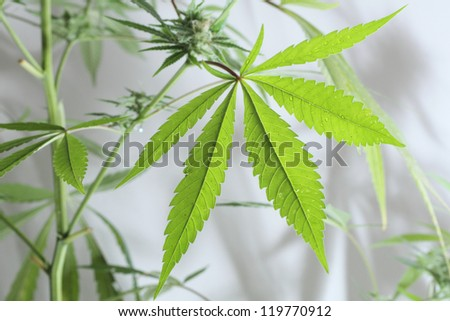 cannabis plant isolated on the white background - stock photo
