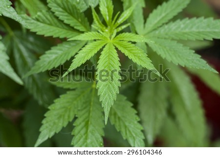 cannabis plant leaves  - stock photo