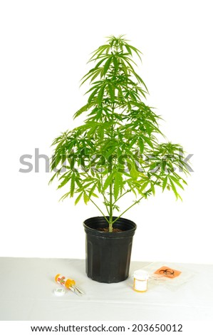 Cannabis plant sitting on a table with Marijuana joints and medical; marijuana bottle, urine bottle and biohazard bag