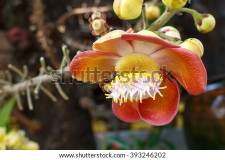 cannon Ball Tree, Sal Tree, Sal of India, Couroupita guianensis Aubl. The plant in Buddhism history. - stock photo