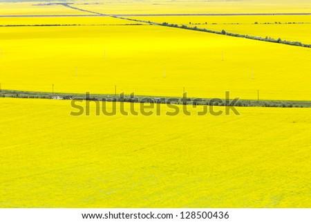 Canola field - stock photo