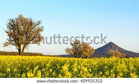 Canola field, Hungary - stock photo