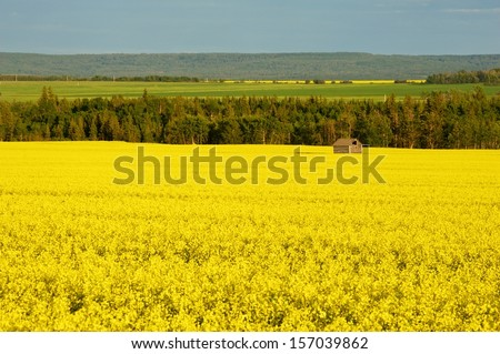 Canola field in bloom with abandoned granary in field