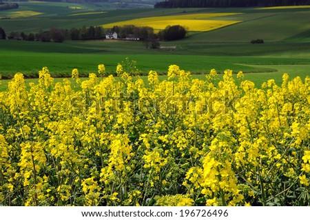 Canola field in Germany - stock photo