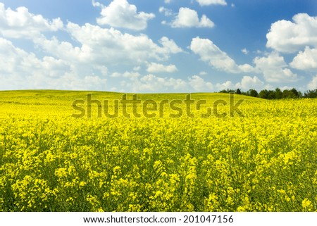 Canola field in northern Poland/Pomerania province