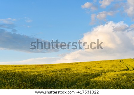 Canola field in the summer. Blooming rapeseed under blue sky - stock photo