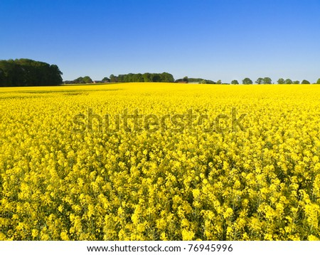 Canola Field under Blue Sky in Lower Saxony - stock photo