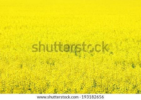 Canola field, yellow rape flowers, rapeseed - stock photo
