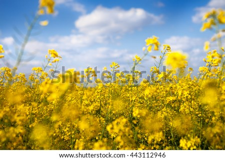 Canola flowers with beautiful yellow color
