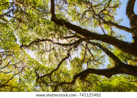 Canopy of old live oak trees draped in spanish moss. Natural background. & Canopy Old Live Oak Trees Draped Stock Photo 741125482 - Shutterstock