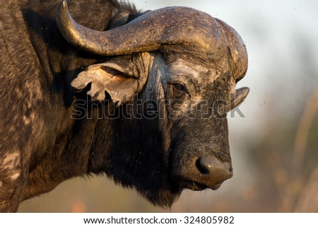 Cape buffalo at a water hole in Sabi Sands Game Reserve in greater Kruger National Park, South Africa - stock photo