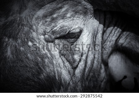 Cape Buffalo face close-up with a small eye and texture
