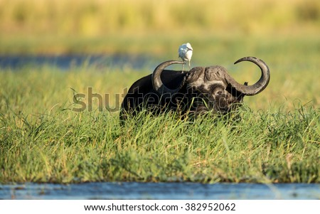 Cape Buffalo feeding in Chobe River in Botswana