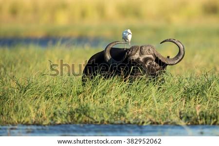 Cape Buffalo feeding in Chobe River in Botswana - stock photo
