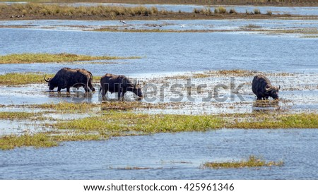 Cape buffalo grazing in water on the banks of the Chibo river (national reserve) - Botswana, South-Western Africa - stock photo