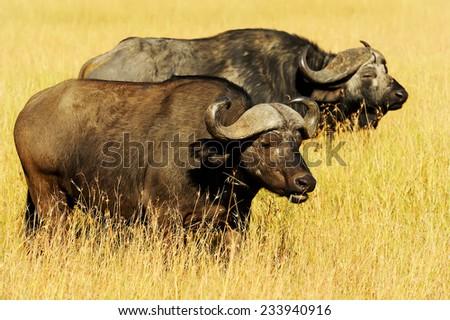 Cape buffalo (Syncerus caffer) on the Masai Mara National Reserve safari in southwestern Kenya. - stock photo
