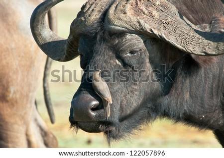 Cape Buffalo with Ox-Pecker passenger, Ruaha National Park, Tanzania. - stock photo