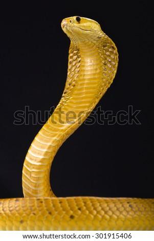 Cape cobra (Naja nivea) - stock photo