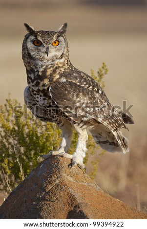 Cape Eagle Owl (Bubo capensis) perched on rock, South Africa