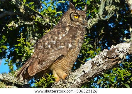 Cape Eagle Owl perched - stock photo