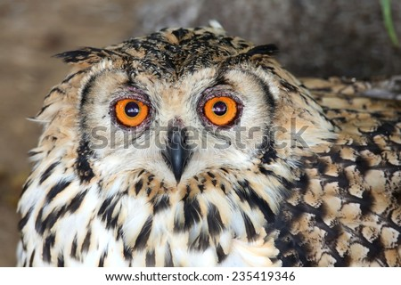 Cape Eagle Owl with large round orange eyes and beautiful feathers - stock photo