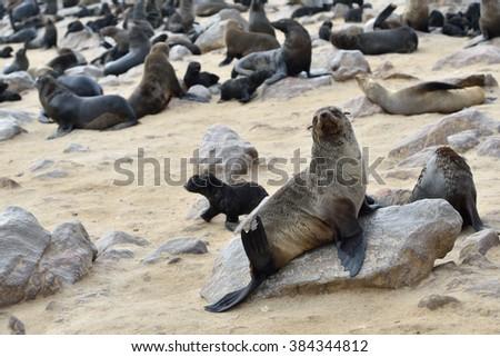 Cape fur seal sits on the stone coast of Atlantic ocean. Seal colony on the Cape Cross, Skeleton Coast, Namibia - stock photo