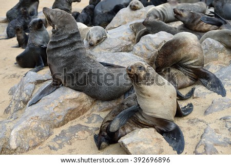 Cape fur seals on the stone coast of Atlantic ocean. Seal colony on the Cape Cross, Skeleton Coast, Namibia. Biggest seal colony in the world - stock photo