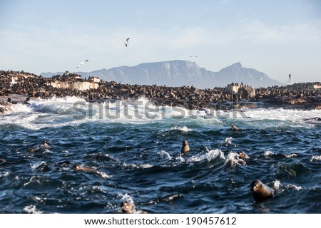 Cape Fur seals swim in the cold waters surrounding Seal Island in False Bay, South Africa. The seals seasonally attract apex predators, such as Great White Sharks. - stock photo