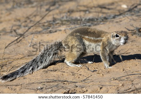 Cape ground squirrels Xerus inauris mainly occur in the dry, semi-desert regions of southern Africa, especially in the Kalahari. They live on the ground and in their widespread underground caves.