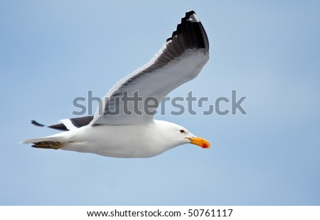 Cape gull flying against the blue sky - stock photo