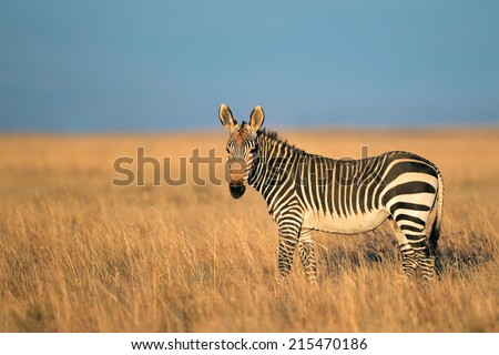 Cape Mountain Zebra (Equus zebra), Mountain Zebra National Park, South Africa - stock photo