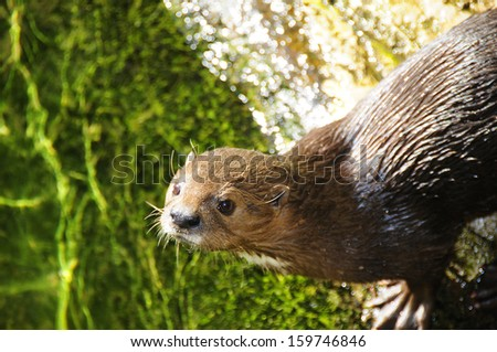 Cape Otter in South Africa - stock photo